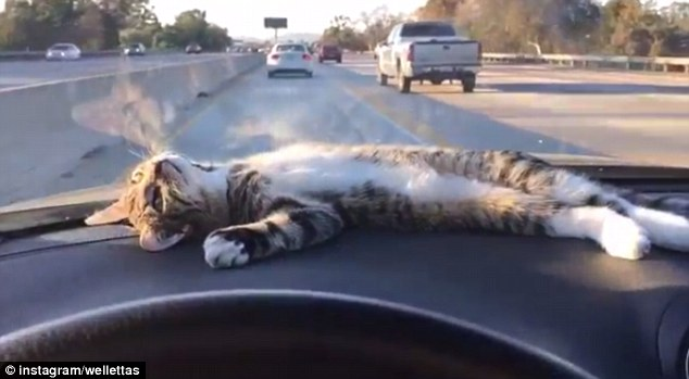 Video Of Cat Dashboard Laying