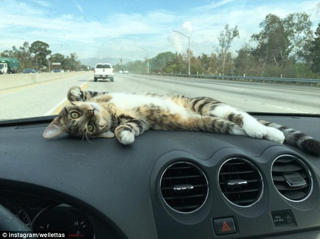32BF831C00000578-3519660-Prime_position_Rory_the_cat_lays_outstretched_on_his_owners_dash-a-35_1459545994074